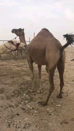 عمانيه طيبه وزينه وفيها لبن