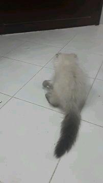 seiberian kitten very cute