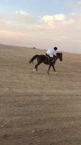 حصان ركوب