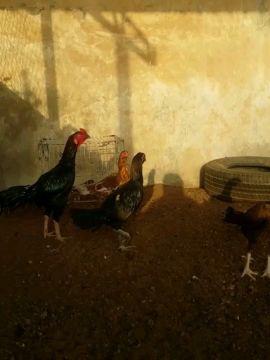 للبيع طقم دجاج...