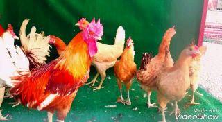 للبيع دجاج بياض