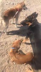 كلب جرو انثى عمرها شهرين
