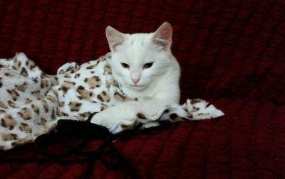 قطة بيضاء للبيع