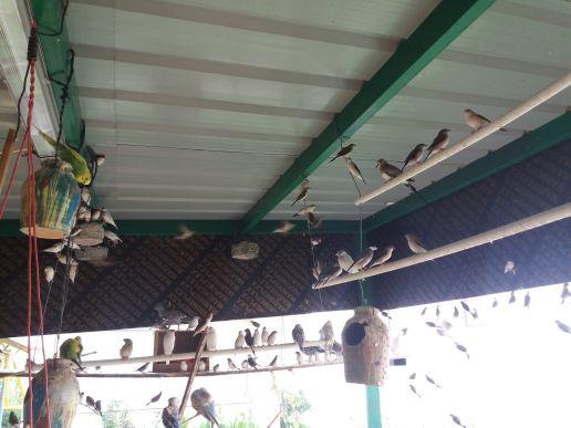 عصافير فينش للبيع