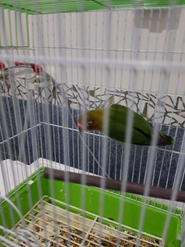 love bird fesher