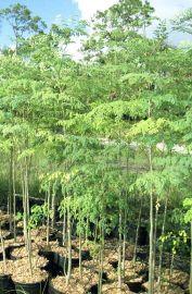اشجار المورينجا