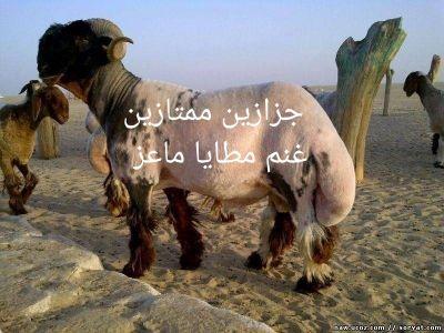 جزازين غنم شقل نضيف بدون تجريح