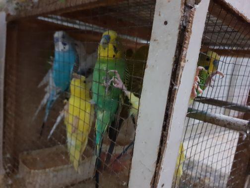 bird for sale in pair or bulk