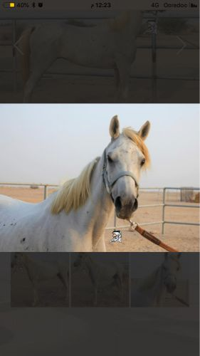 حصان مع جواز
