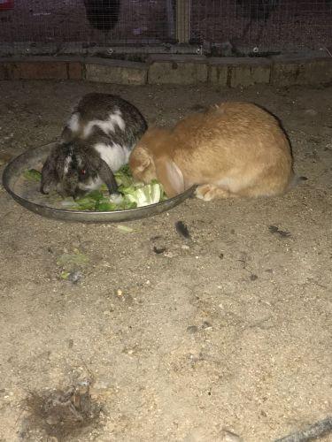 أرنب هولندي جامبو