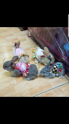 ارانب صغيره