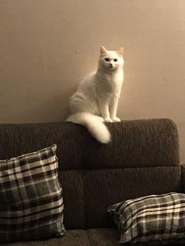 قطة خايوماني للتزاوج