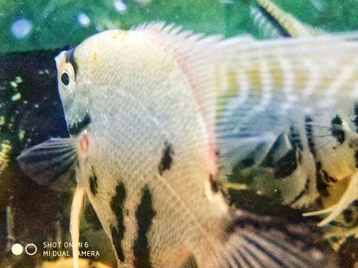 Angel Fish (XL)