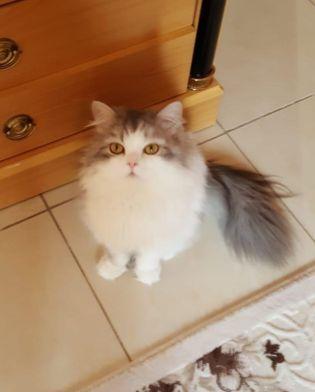 قط شيرازي مفقود