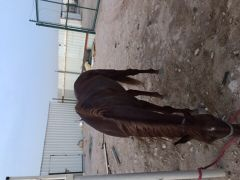 للبيع حصان فحل وركوب