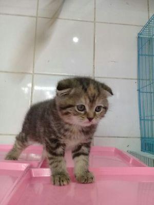 قطط اسكوتش