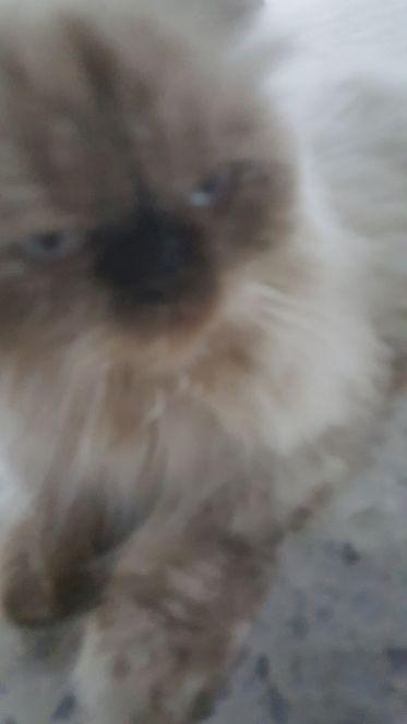 باع قطه شيرازيه