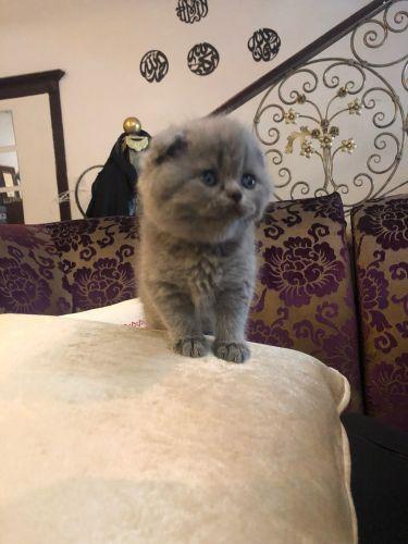 قطه انثى سكوتش فولد