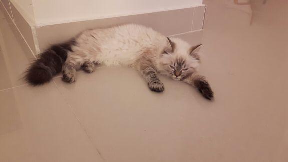 siberian greet kitten