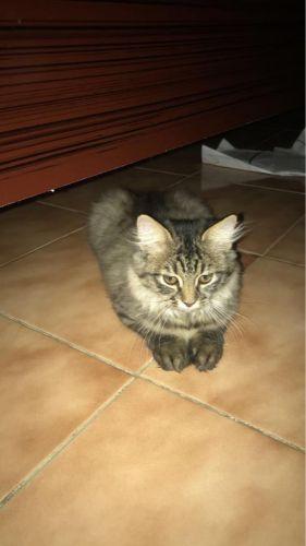 للبيع قطوه شيرازيه عمرها 5 شهور