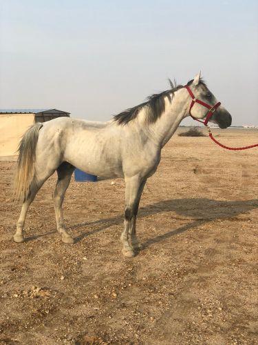 للبيع احصان ولد عامر