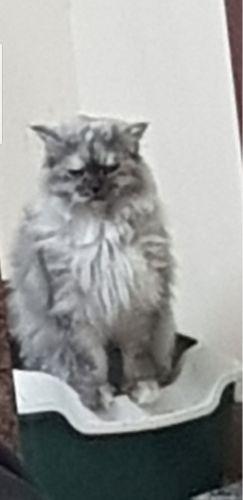 قطة شراري حامل