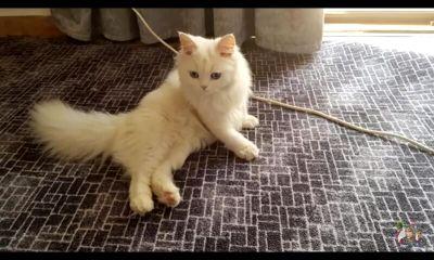 قطط شيرازي اناث وذكور للبيع