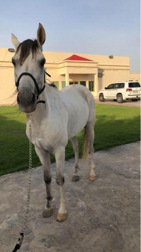 حصان عربي ريس