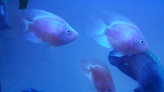 سمكة البغبغاء