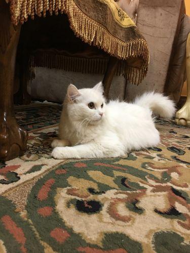 قطه شيرازي مستعجل جدا