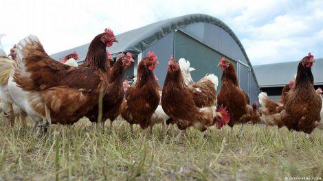 بيض دجاج لوهمان البياض للتفقيس