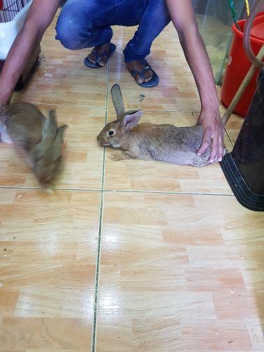 ارانب قويه شبيه البرى