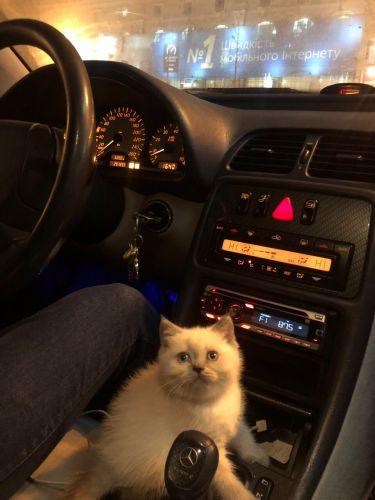 Scottish cat for sale