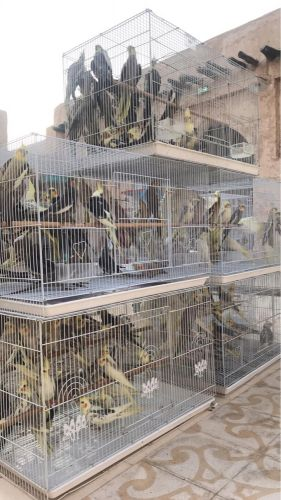 طيور جمله للمحلات