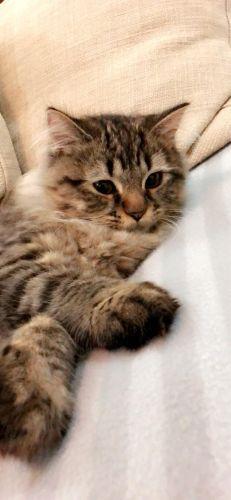 قطة شيرازية ذكر عمره ٤ شهور لعوب