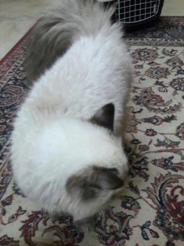 قط هملايا للبيع 1500