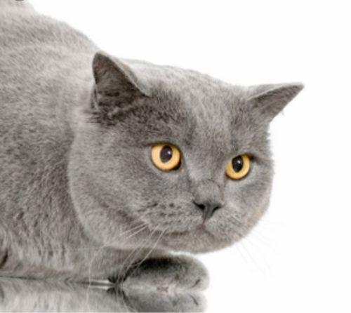 قطه سكواتج للبيع