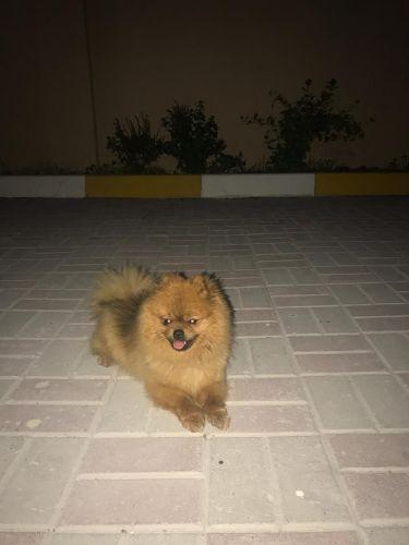 كلب بورمنيان  للبيع