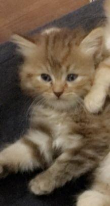 للبيع قطه سيبيري