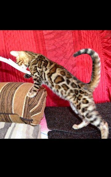 Bengal cats قطط البنغال