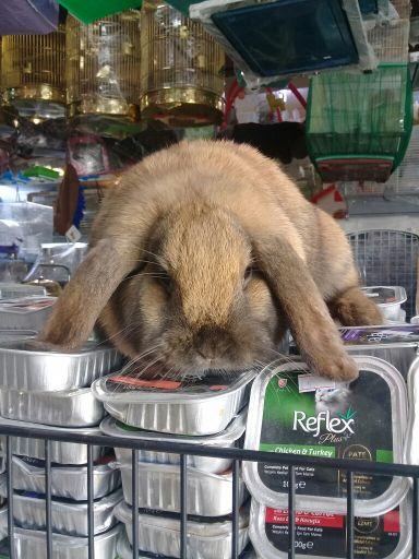 ارنب لوب القزم