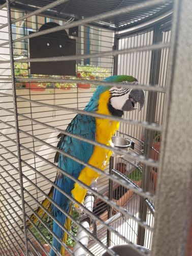 blue yellow macaw for sale . big cage .
