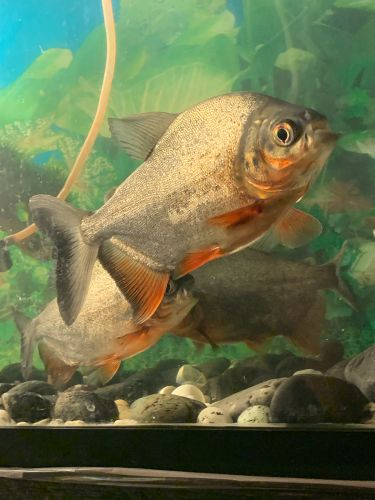 Paku fish like phirannah