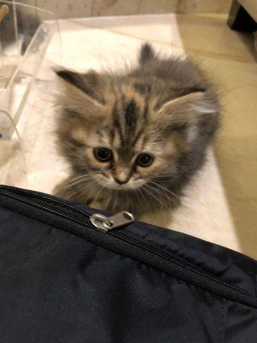 Shirazi Cat 2month
