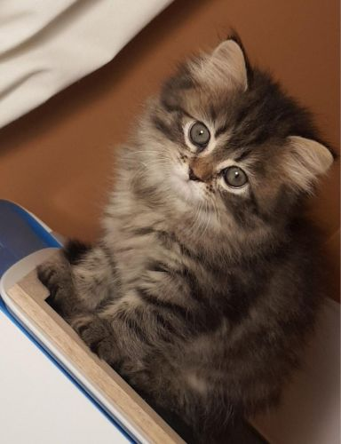 3 sherazi adorable kittens