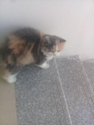 قطه انثي شيرازي