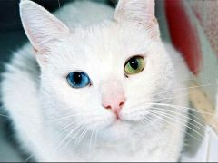 قط نادر