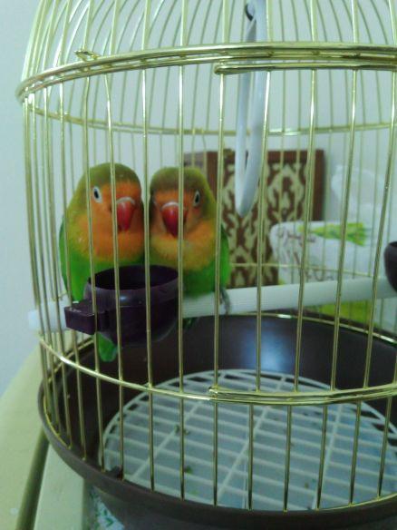 جوزطيورالحب