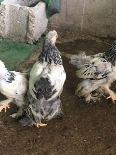 دجاج براهما فروخ