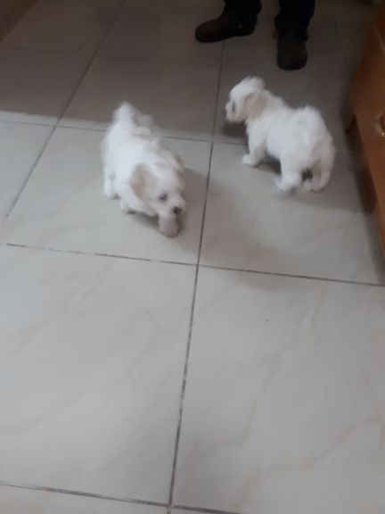 puppy female  maltese